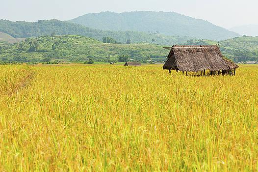 Golden Rice Field by Keattikorn Samarnggoon