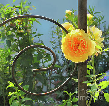 Golden Ruffled Rose on Iron Trellis by Nancy Lee Moran