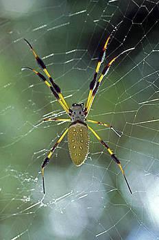 Golden-silk Spider by Richard Nickson