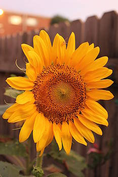 Golden Sunflower closeup by Sheri LaBarr