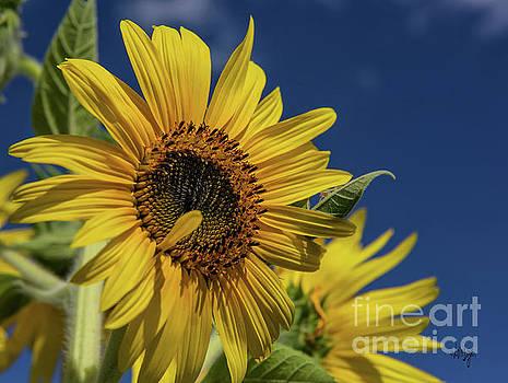 Lois Bryan - Golden Sunflower