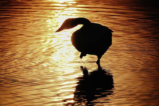 Tatsuya Atarashi - Golden Swan