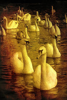 Golden Swans by Martin Fry