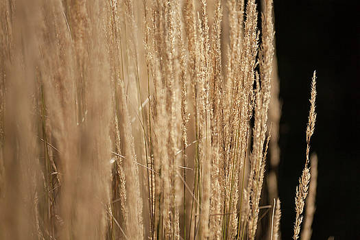 Golden Wheat 1 by Mason Resnick