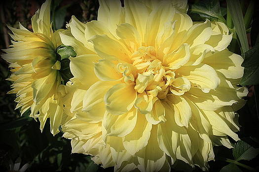 Golden Yellow Dahlias by Dora Sofia Caputo Photographic Design and Fine Art