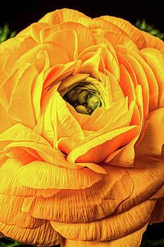 Golden Yellow Ranunculus by Garry Gay