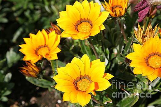 Chuck Kuhn - Golden Yellows Flowers