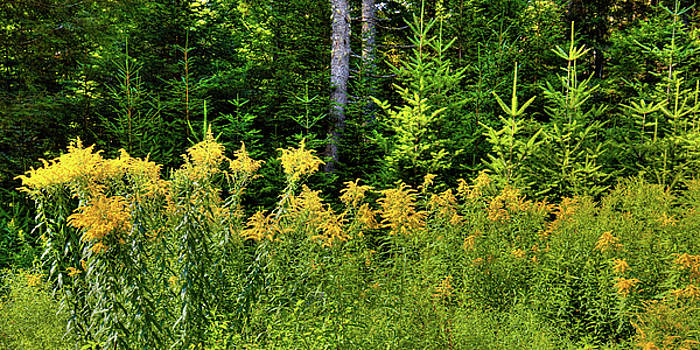 Goldenrod in the Adirondacks by David Patterson