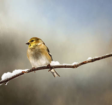 Goldfinch After A Spring Snow Storm by Betty Pauwels