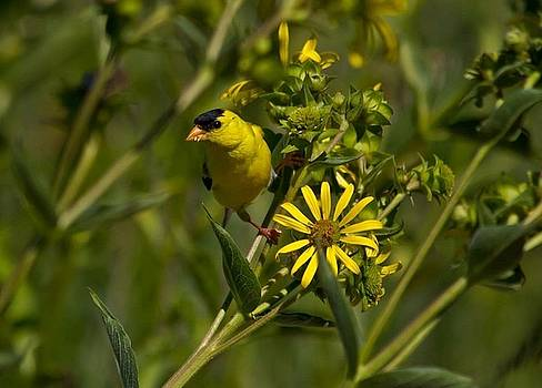 Goldfinch by David Tennis