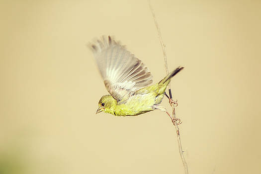 Goldfinch Flying Off  by Susan Gary