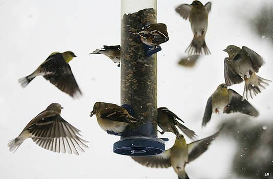 Goldfinch Frenzy by John Meader