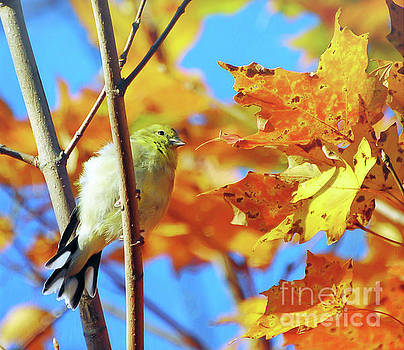 Goldfinch In Autumn Leaves  by Kerri Farley