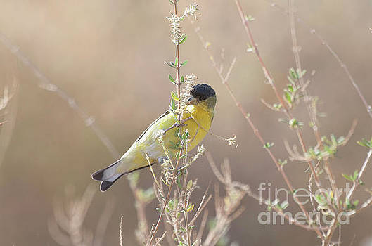Goldfinch in Morning light by Ruth Jolly