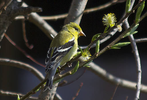 Goldfinch in spring by David Tennis