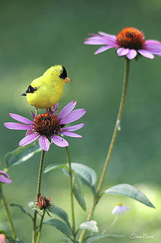 Goldfinch on a Coneflower by Trina Ansel