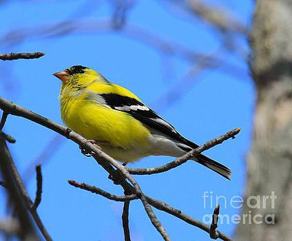Goldfinch by Roger Becker