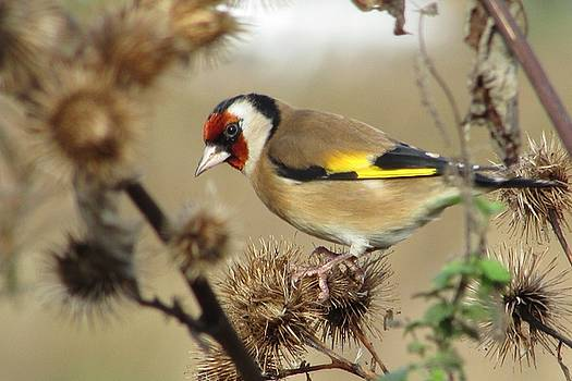 Goldfinch by Sarah Fowle