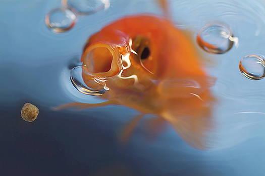 Sami Sarkis - Goldfish opening mouth to catch food