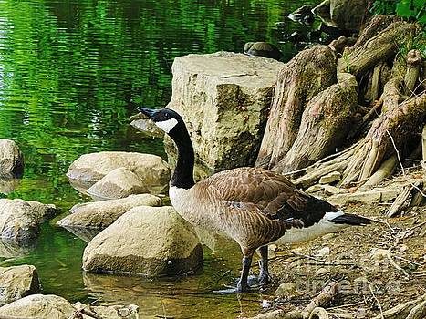 Goose by Angela Weis
