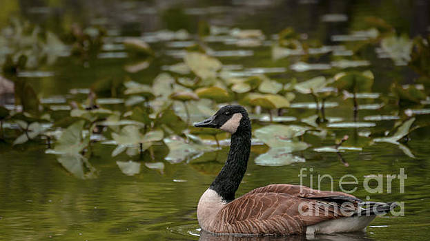 Goose at Oradell by Jorge Perez - BlueBeardImagery
