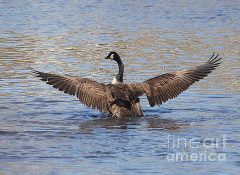 Goose Flapping Wings-Rear View by Wendy Coulson