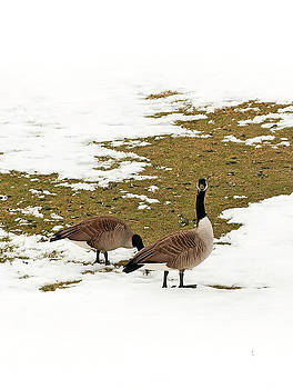 Goose Gathering by Mandy Wiltse