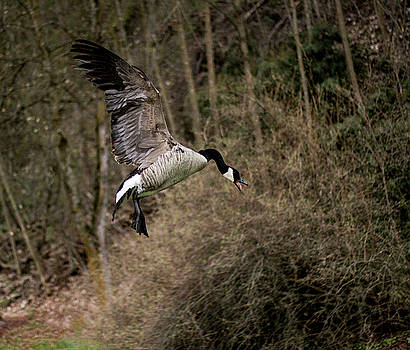 Goose in Flight by Celena Sandaker