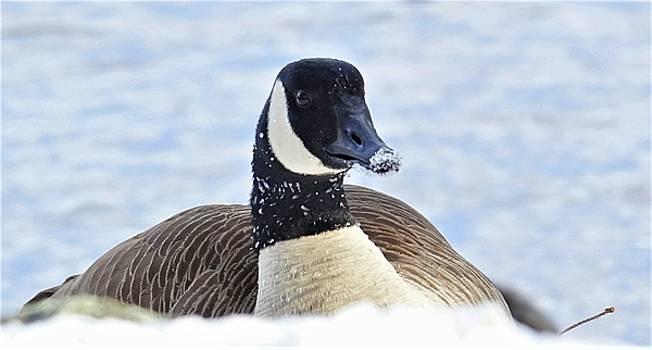 Snowy Goose by Lori Pessin Lafargue