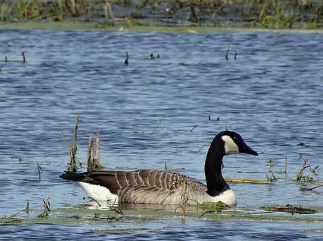 Goose by Jon Glynn