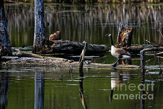 Goose On A Log by Paul Mashburn