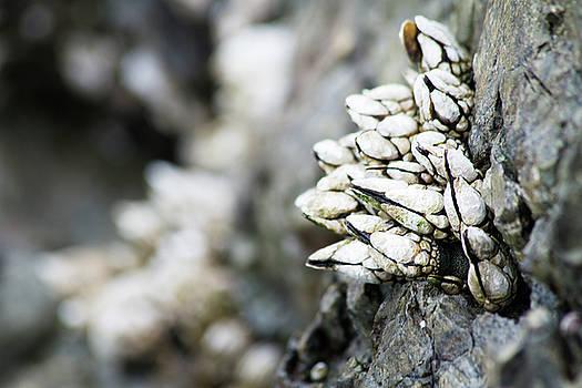 Gooseneck Barnacles // San Juan Island, Washington by Kirsten Dale