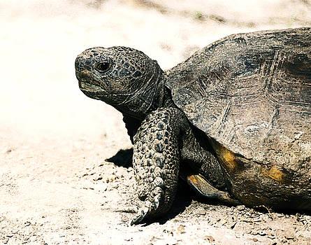 Rebecca Brittain - Gopher Tortoise Portrait