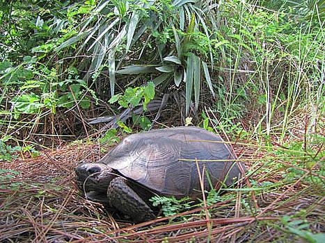 Gopher Tortoise by Richard Nickson