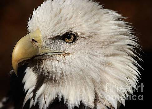 Paulette Thomas - Gorgeous Bald Eagle