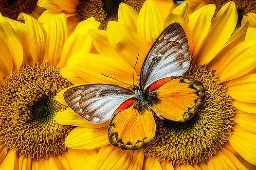 Gorgeous Butterfly On Sunflowers by Garry Gay