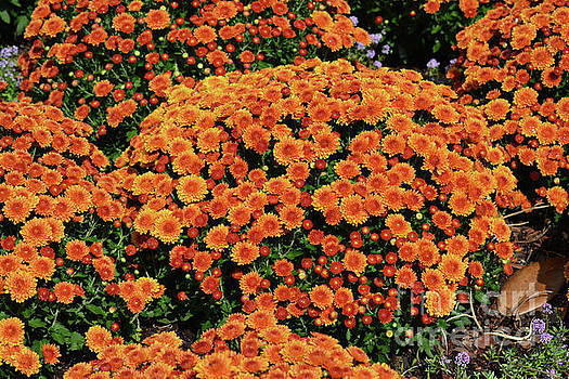 Gorgeous Mums  by Ruth Housley