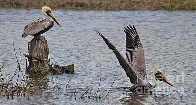 Paulette Thomas - Gorgeous Pelicans