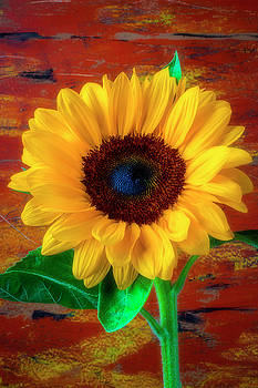 Gorgeous Rustic Sunflower by Garry Gay