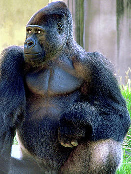 Gorilla in our midst  by Joe Luchok