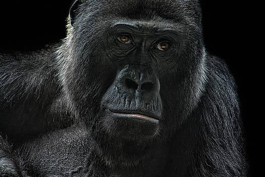 Gorilla by Joachim G Pinkawa