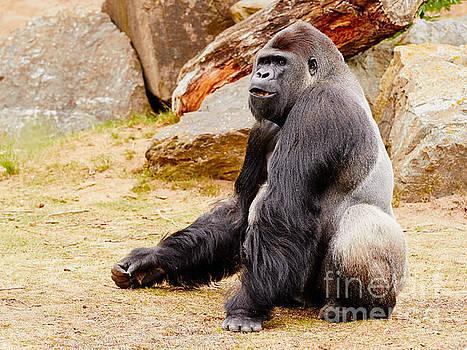 Nick  Biemans - Gorilla sitting upright
