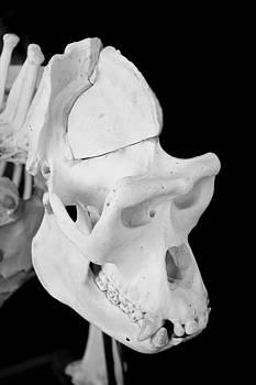 Gorrila Skull 1 by Dan Lease