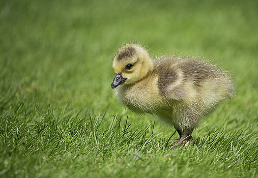 Gosling at the Park by Celena Sandaker