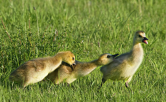 Gosling Bullies by Steven David Roberts