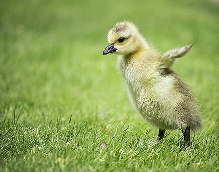 Gosling Flapping Wings by Celena Sandaker