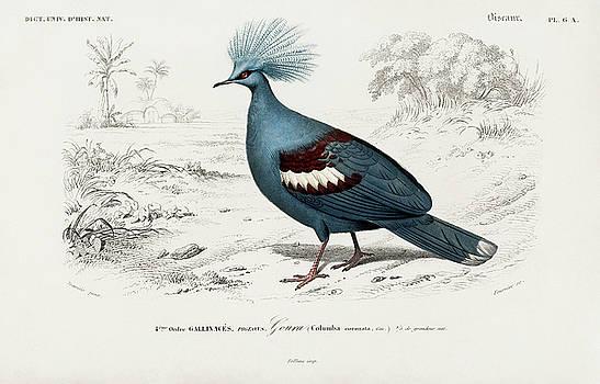 Goura illustrated bird by Charles Dessalines D' Orbigny