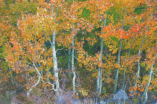 Graceful Aspens - Eastern Sierra California by Ram Vasudev