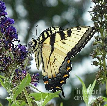 Cindy Treger - Graceful Display - Eastern Tiger Swallowtail