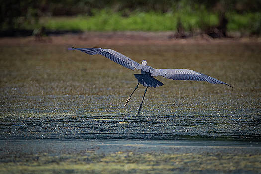 Graceful Flight by Ray Congrove